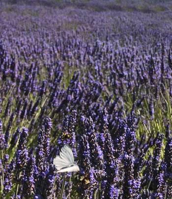 Purpleenglishflutterby